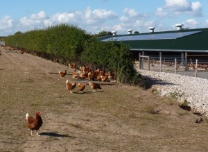 Free range chicken benefit from one of Hockerton's solar arrays